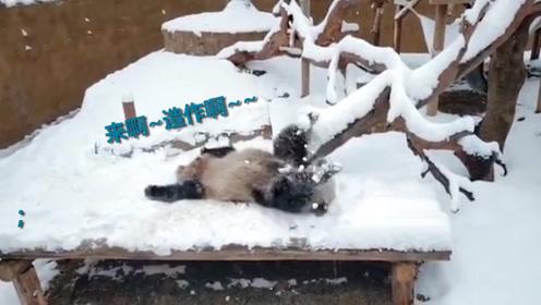 四川熊猫初次见到沈阳大雪 白茫茫一片撒欢打滚 网友:来啊快活啊!