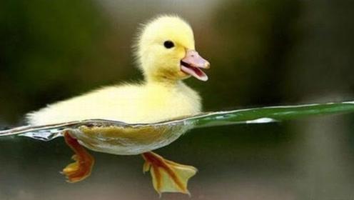 别看小鸭子表面优雅可爱,水面下的脚可忙坏了,扑棱扑棱太有节奏