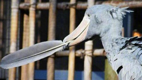 """鸟界中的""""哈士奇"""",因呆萌行为逗乐游客,喜欢拔自己的羽毛送人"""