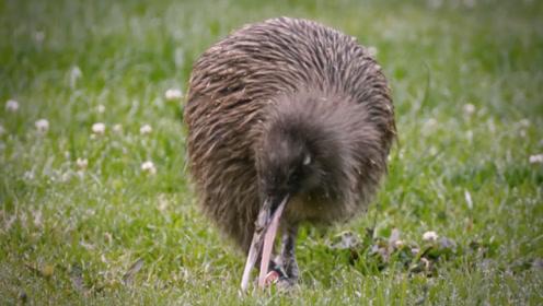 新西兰的国鸟,竟是《山海经》上的异兽,鸡身鼠尾能预测天气!