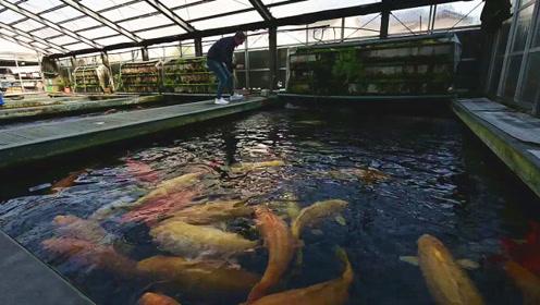 有钱人养的一窝大锦鲤,看着它们打闹玩乐,我不知不觉着迷了!