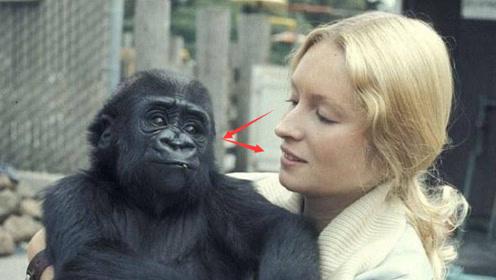 美女和猩猩五年未见,来看望它时,猩猩的情绪失控了!