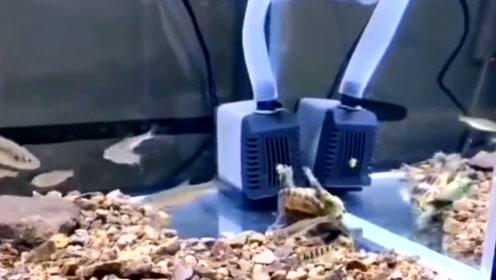 水里的乌龟也会溺水?请看一龟友的乌龟溺水过程,幸亏抢救及时!