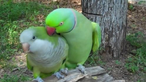两只鹦鹉疑似说悄悄话,模样让人看了大笑不止,镜头拍下全过程