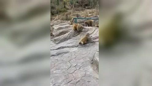 新一轮的猴王争霸开始了,接下来,这场面真乱!