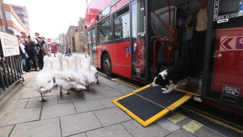 狗狗指挥一群鹅坐公交车,路人纷纷围观,这就是传说中的牧鹅犬?