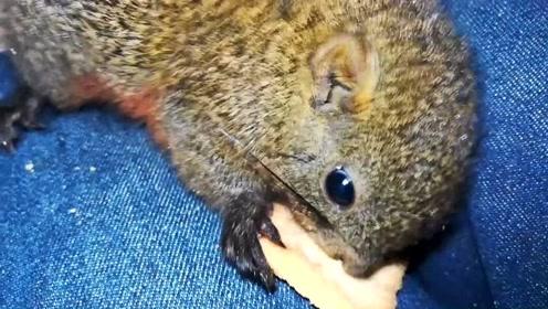 这种松鼠只有冬天才有幼崽,一般第一批幼崽最贵,这是到手时不到400