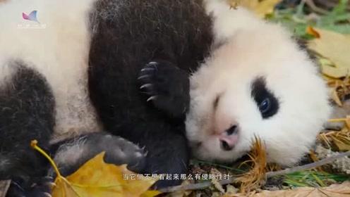 大熊猫的黑眼圈仅仅是因为卖萌吗?如果不是,那又代表什么?