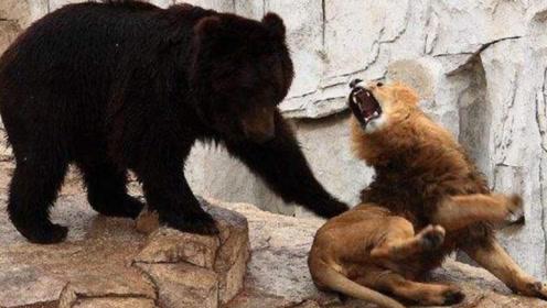 狭路相逢勇者胜,强悍黑熊大战狮王,谁才是真正的王者