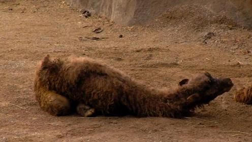 骆驼妈妈生完孩子就走,真相是为了小骆驼,看完涨姿势了