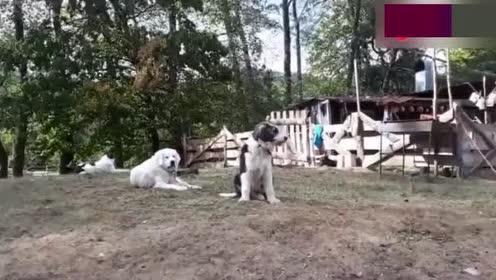 老外饲养的牧羊犬!这些狗长得跟土狗真的不一样!