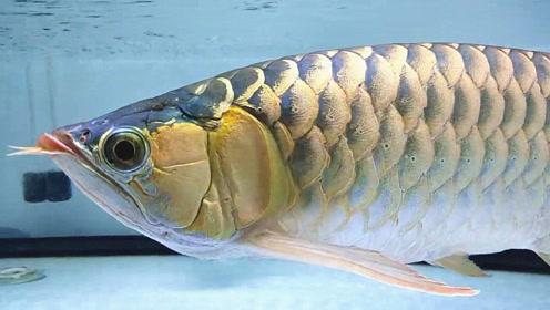 邻居刚买来几条名贵金龙鱼,品相看着都不错,结果太令人着迷了