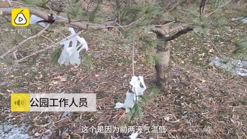 公园为造冰挂浇水一夜压垮树木?管理处否认:这是偶然现象