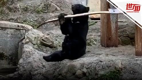 """日本黑熊练成""""一代宗师"""" 木棍耍出花来笑翻网友"""