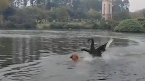 """狗生艰难!金毛下水游泳遭黑天鹅""""暴打"""",主人:这不是第一次了"""