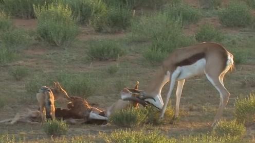 两只羚羊角卡在一起,一只豺狼走了过来,羚羊目睹同伴被掏空