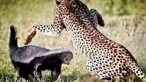 花豹作死偷袭平头哥幼崽,被觅食回来的平头哥撞见,一场大战在所难免
