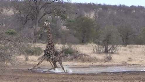 长颈鹿饮水差点滑倒,模样太滑稽了,镜头拍下全过程