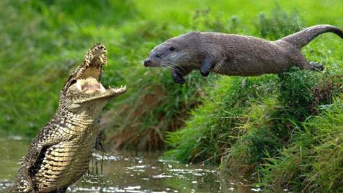 鳄鱼单挑七八只巨水獭,结果不到5分钟,就成了水獭的午餐