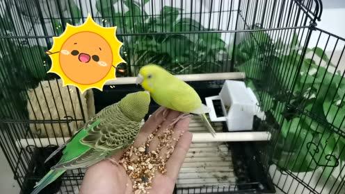 鹦鹉:黄皮与绿皮好像在干仗