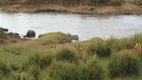 斑马打算过河,却遭遇危险,看到它的反应后感慨:求生欲真强!