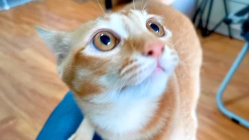 吸吸:橘猫看见猫粮跳到主人腿上讨吃的,遭无情拒绝,还被迫营业,好惨一猫