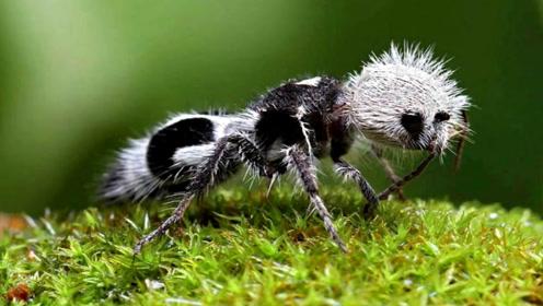 世界上3种不可思议的动物,长得像熊猫的蚂蚁,体形虽小战力凶悍