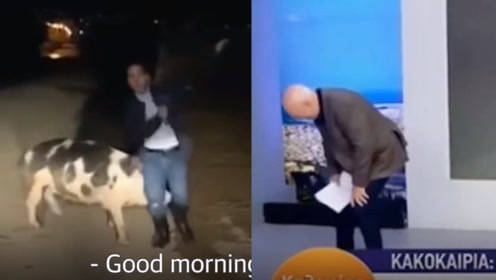 太难了!记者连线直播被一头猪追着拱 演播室主持人笑得前仰后合