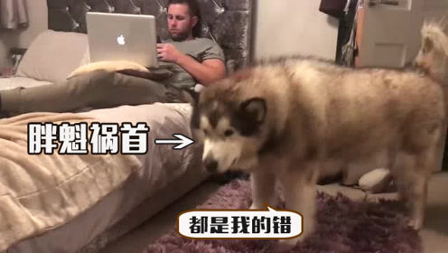 胖狗子爬上床找主人玩,差点把床给压塌,主人没有怪罪反而安慰它
