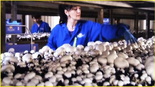 把大象装进冰箱都知道需要3步,那把蘑菇装进罐头需要几个步骤?