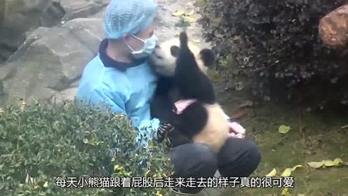 有一个小熊猫跟班是什么感受呢?胖呼的样子腻着你,可爱极了