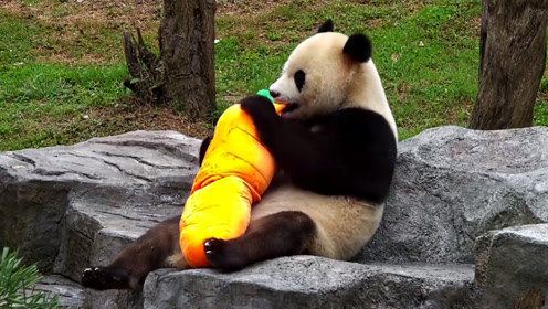 大熊猫和萝卜玩偶杠上了,抱在怀里不停地啃:萝卜挺大的就是难啃