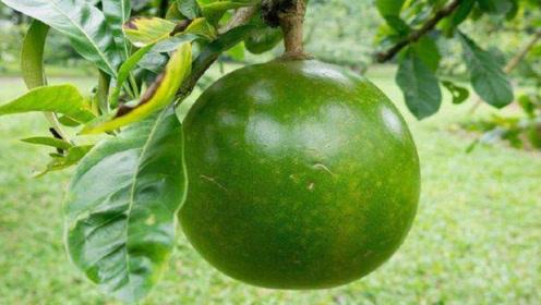 """见过长在树上的""""西瓜""""吗?果汁能当汽油用,没人敢靠近"""