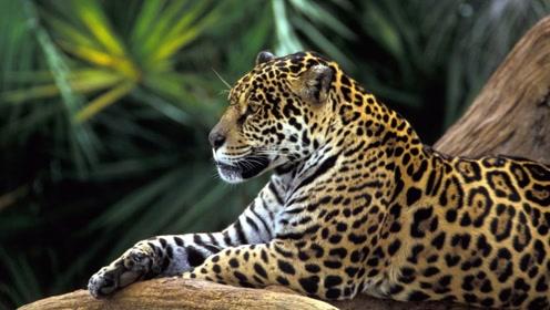 最强猎手像虎又像豹,被人们称为最强