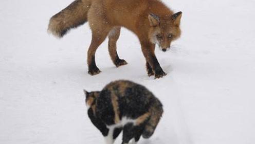 猫和狐狸对决,猫的功夫可不是花架子,镜头记录全过程
