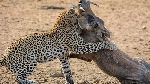 猎豹快跑疣猪不懂见好就收,竟和猎豹杠上了,结果成了一场悲剧