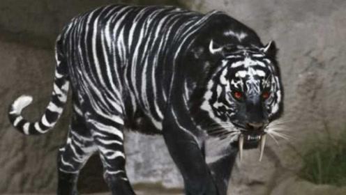 """印度发现""""黑色老虎"""",全球仅此一只,网友:人间罕见!"""