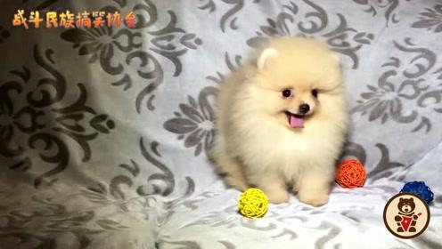 主人带回来一只博美犬,小家伙蹦蹦跶跶的太可爱了