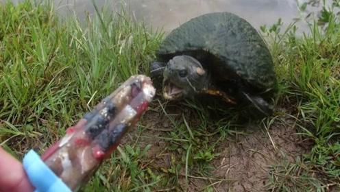 """男子给乌龟吃""""冰棍"""",咬了一口后,请你忍住别笑!"""