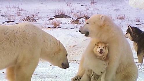 北极熊把二哈当成同类,抱在怀里不肯撒手,看完忍住别笑!