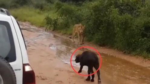 小牛遭遇狮子攻击,不断地在马路上鸣叫,不料下一秒画风突变!