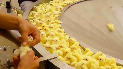 为什么炸鸡店从不断货?刚出生的小鸡就被安排的明明白白,镜头记录全过程!