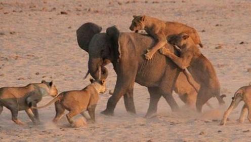 大象母子被狮群围困,为保护孩子象妈妈绝地反击,场面相当震撼!