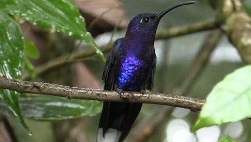 世界上最小的鸟,色彩鲜艳,不仅会飞,还吃得多