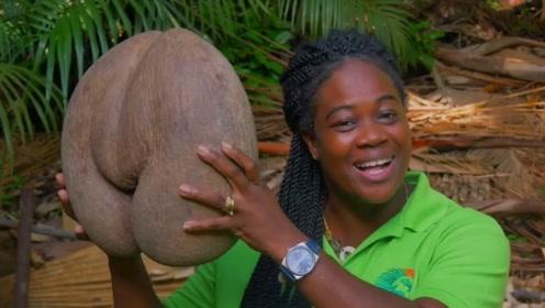 会殉情的椰子,如果不是亲耳听到还真不敢相信,还真就见识到了