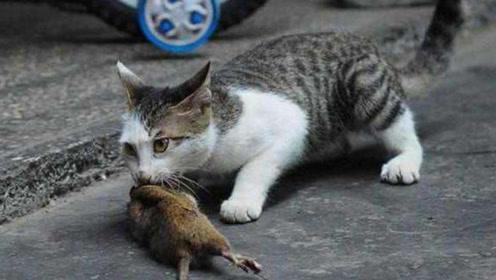 老鼠临死关头拼命反抗,却被猫咪一招致命,勇气可嘉