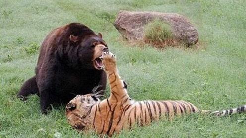 重达1600斤的动物,比狮子老虎还厉害恐怖,战斗力超级无敌强!