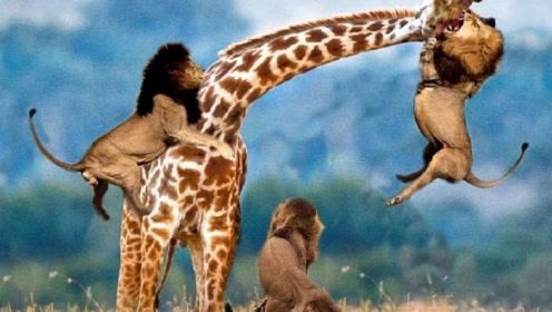 母鹿一回头,孩子被吃成空壳,原地暴走干翻狮子