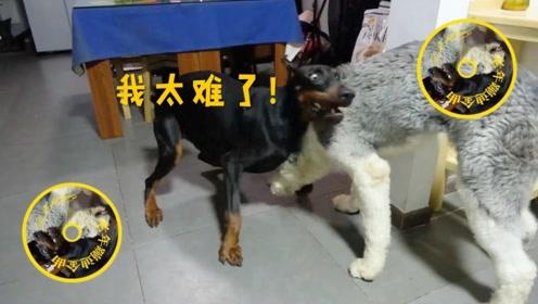 两只狗狗争地盘,速战速决,你一拳我一拳,来而不往非礼也