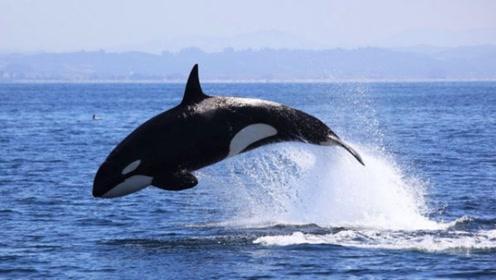 海中大白鲨都惧怕的霸主物种,却和人类亲密无间